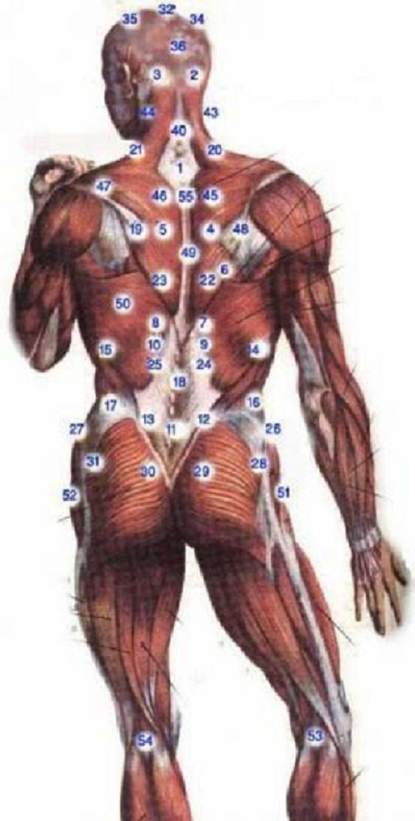 Back Muscle Points Image